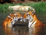 Tigre - Tigre Macho (5 años)