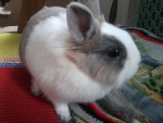 Conejo enano - (5 años)