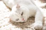 Un Scottish Fold blanc aux yeux bleus allongé sur un tapis