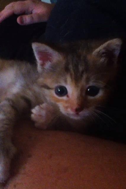 Gato Angel - Hembra (4 meses)