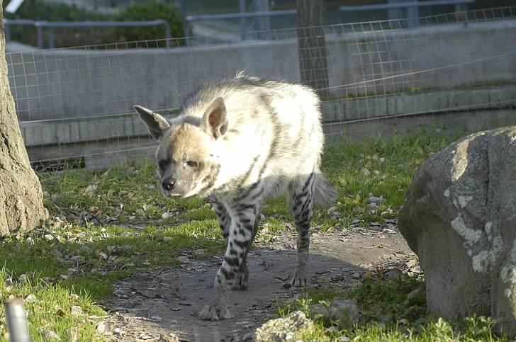 Hiena hienas rayada - Macho (4 años)